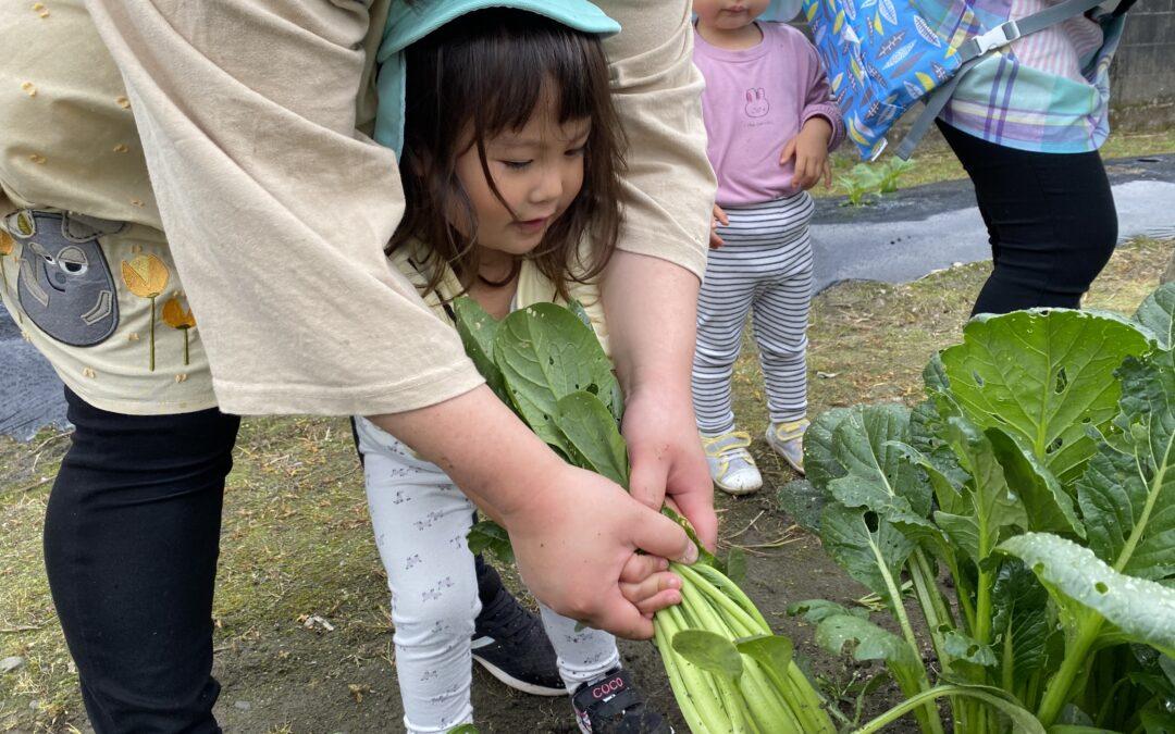 (中央)小松菜を収穫したよ